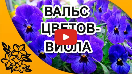 виола видео