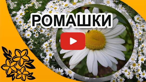 красивые ромашки видео