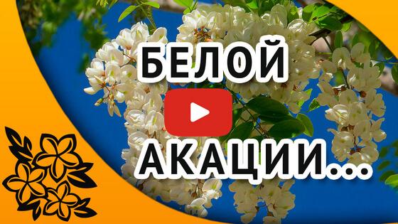 видео Белая акация