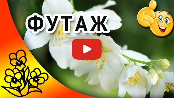футажи цветочные жасмин видео