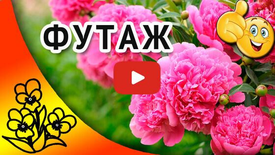 видео футаж розовые пионы