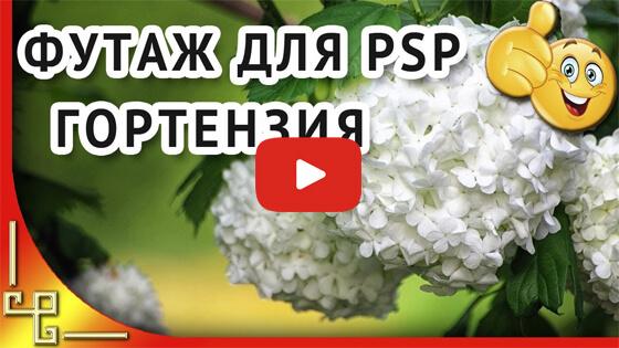 Футаж белая гортензия видео