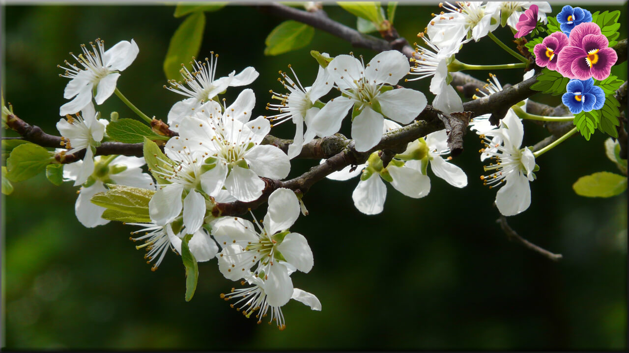 Футаж цветет слива